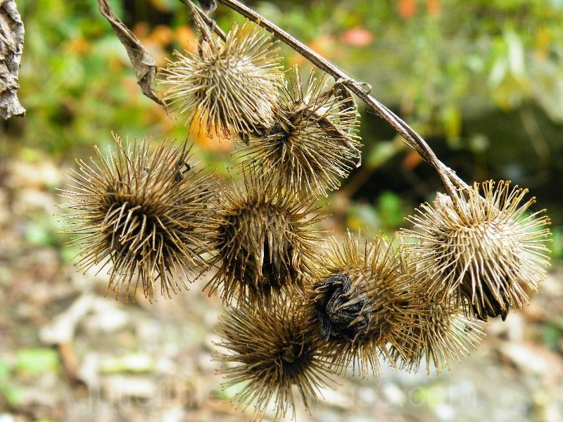 How to Get Burrs Out of Dog Hair How to Get Burrs Out of Dog Hair new photo