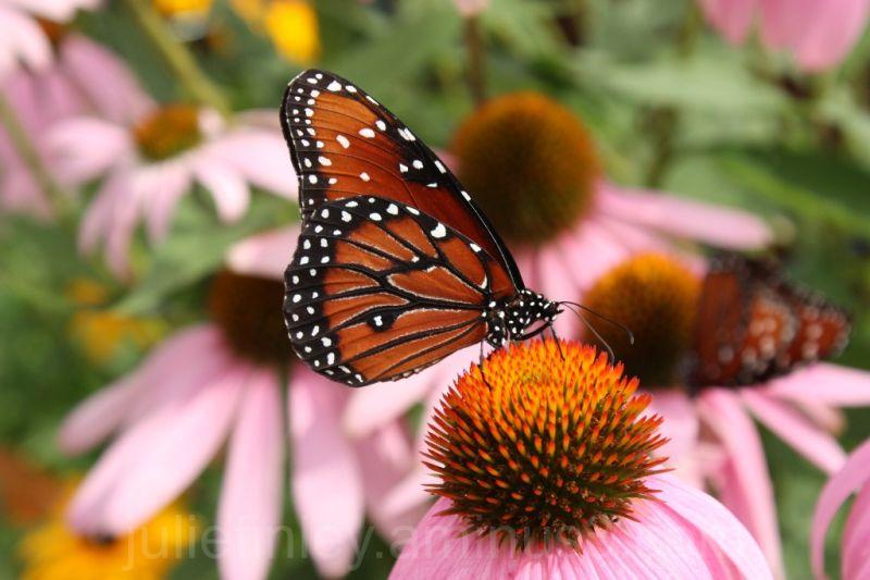 Back to butterflies!