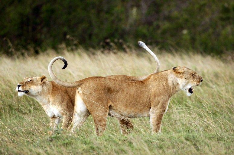 Kenya, lions,masaï-mara