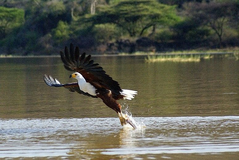 Kenyam afrique aigle pecheur baringo