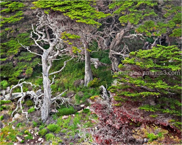 Cypresses at Point Lobos, Carmel, California