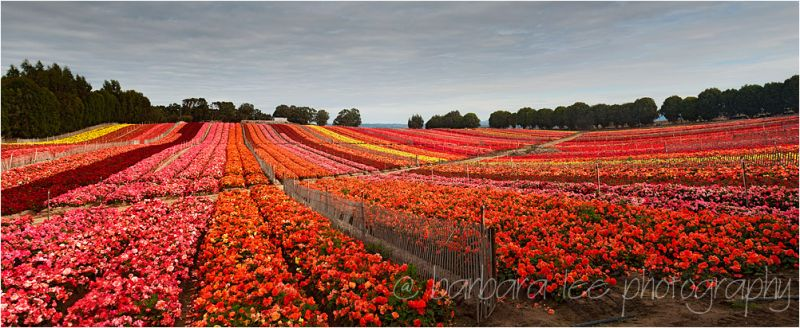 Begonia Field