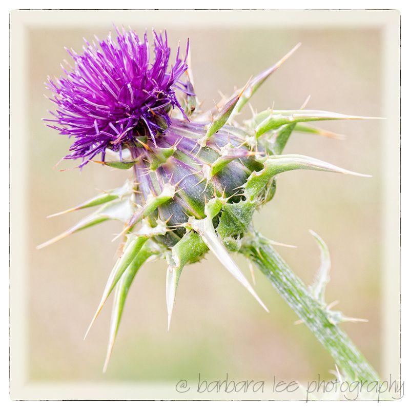 Purplestar Thistle, Garin Regional Park