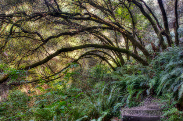 Trees on the Matt Davis Trail up Mt. Tamalpais