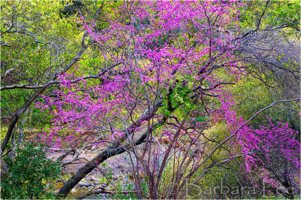 Redbud Trees Along the Merced River, California