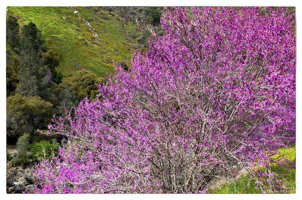 Redbud Along the Merced River, highway 140, Califo