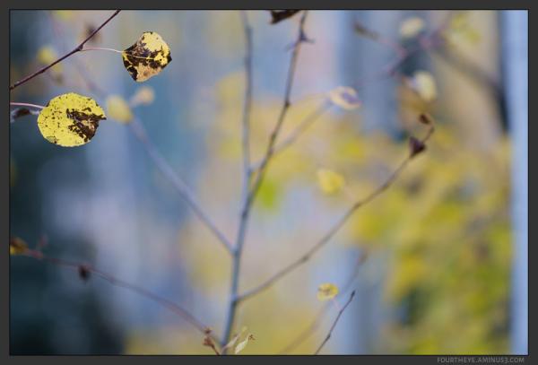 fall aspen forest