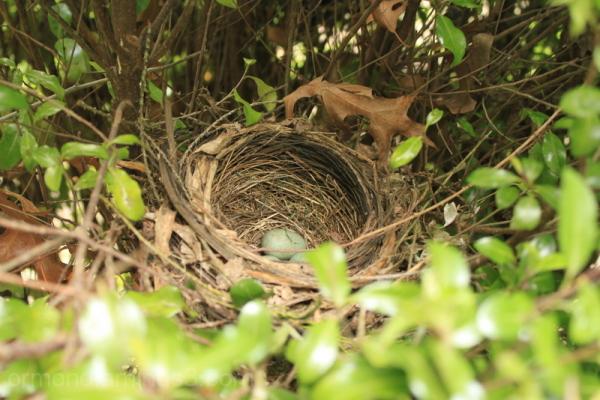 nest, birds, eggs