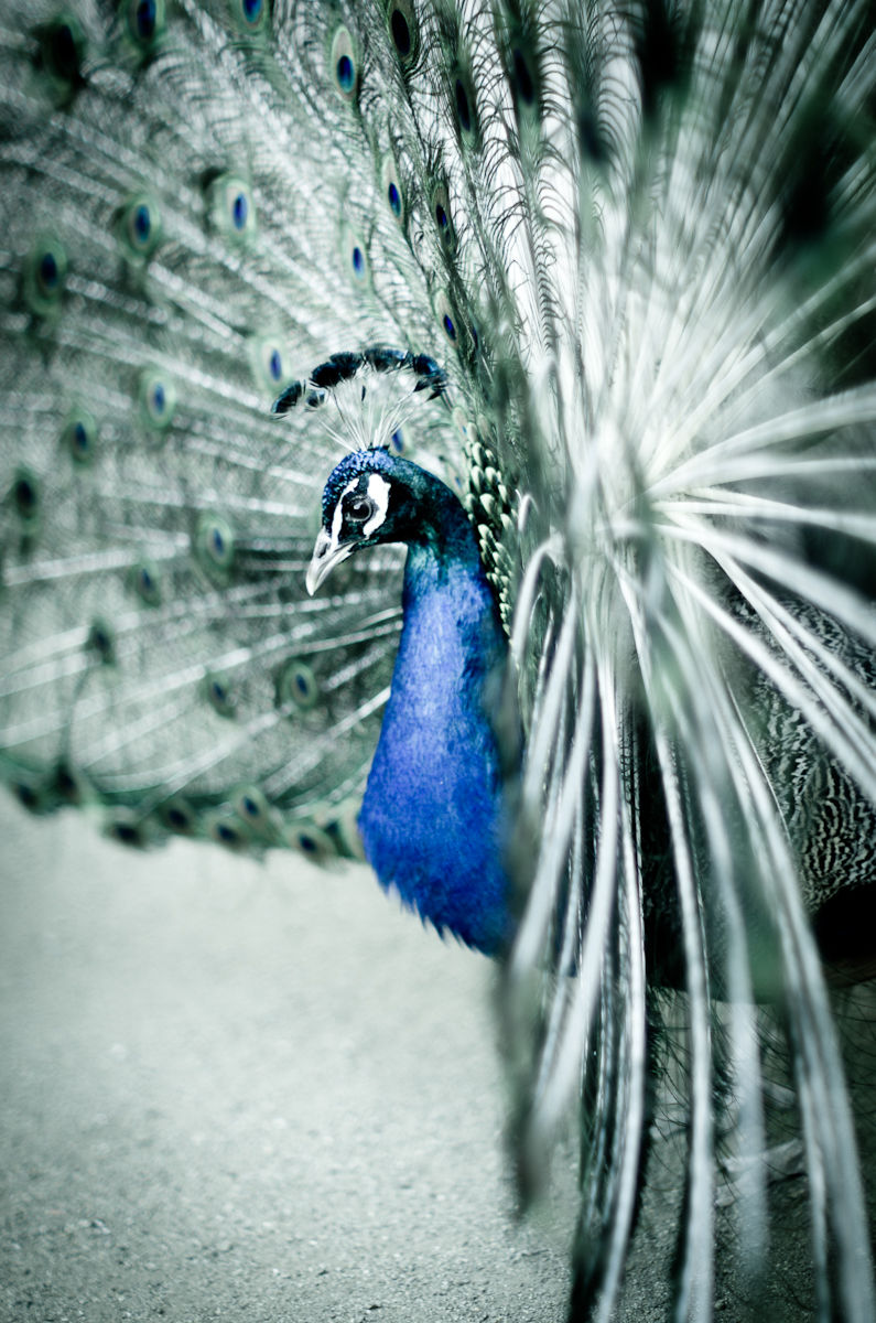 Peacock in detail