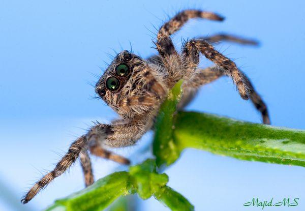 green eyes Spider