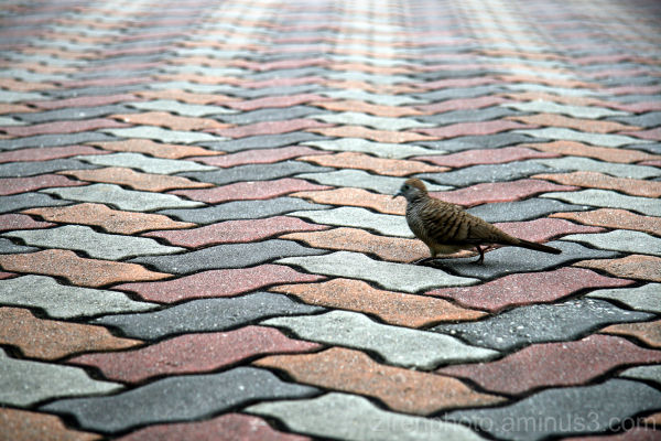 A pigeon crosses the road.