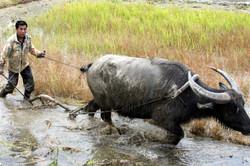 A water buffalo plowing its way through.