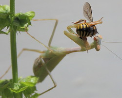 #1 Praying Mantis eating a wasp