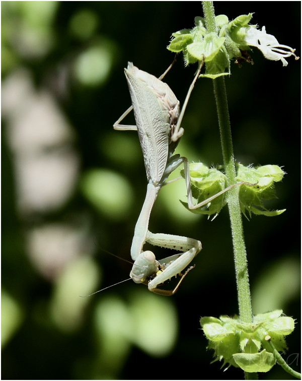 #4 Praying Mantis eating a wasp