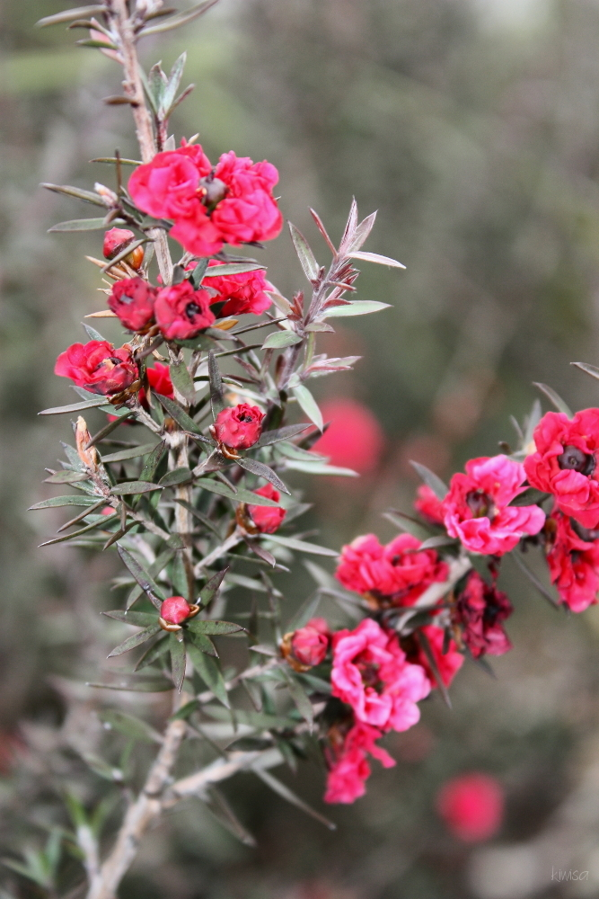 Tea-tree flower