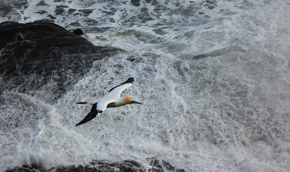 Gannet