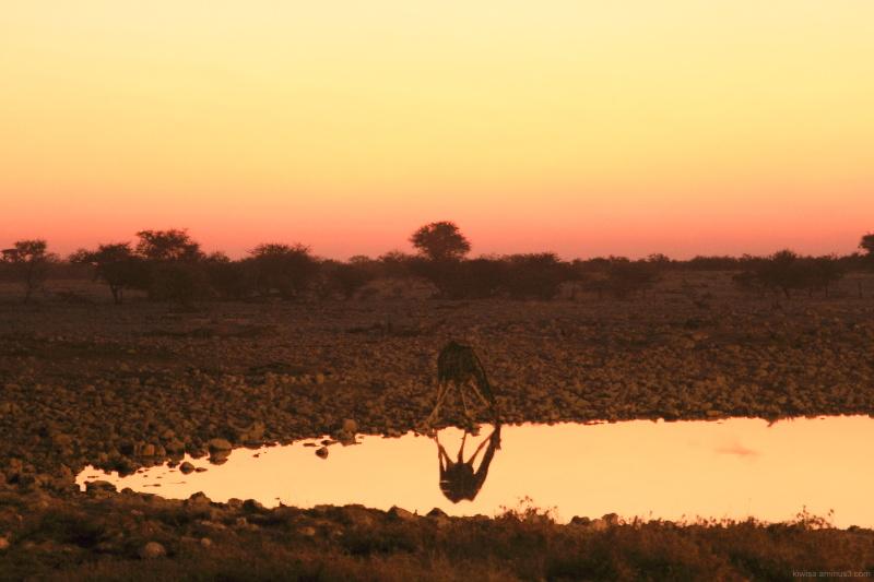 Giraffe drinking at sundown