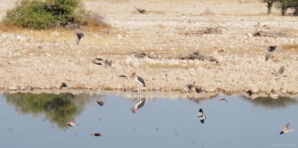 Stork at Oukaukuejo waterhole