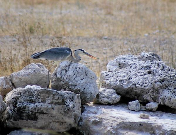 Onguma - blue heron