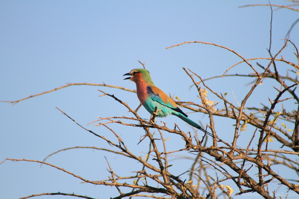Onguma Game drive -Lilac-breasted roller