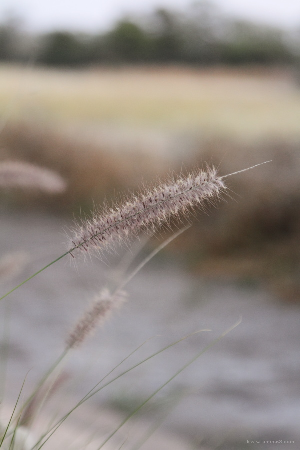Onguma - plant