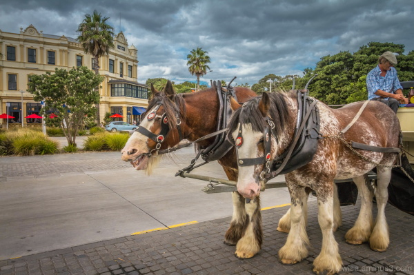 Clydesdale rides