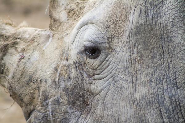 Rhino eye