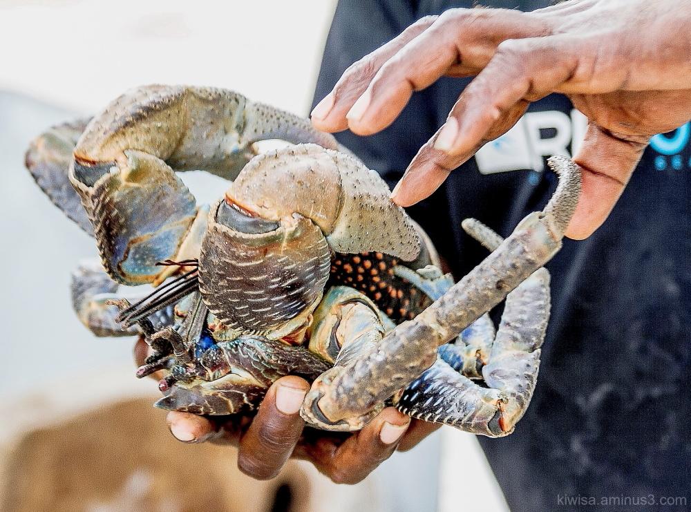 Coconut crabs