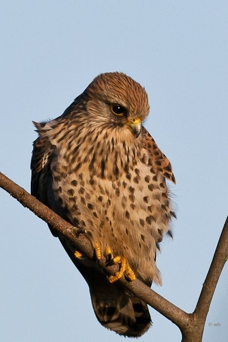 Torenvalk ,  Falco tinnunculus
