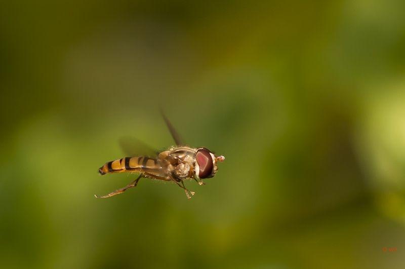 Pyjamazweefvlieg,   Episyrphus balteatus