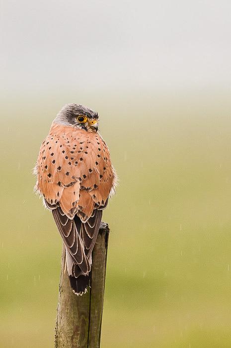 Torenvalk,  Falco tinnunculus in de regen