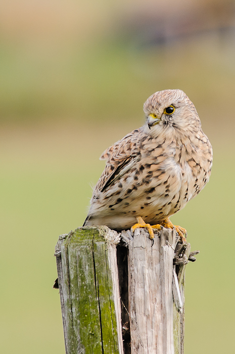 Torenvalk,  Falco tinnunculus  (Juveniel)