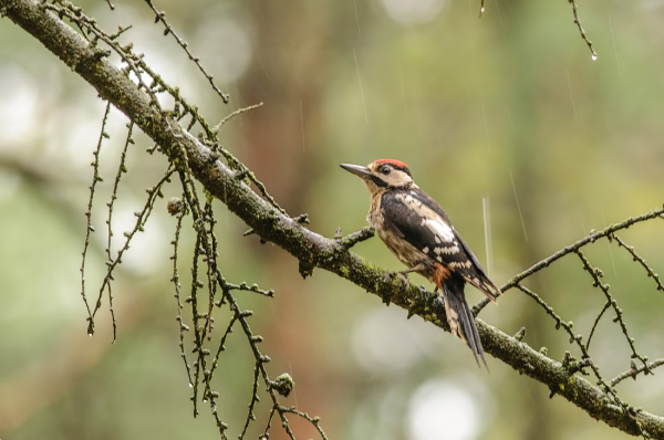 Woodpecker in the rain (Male) 2/2