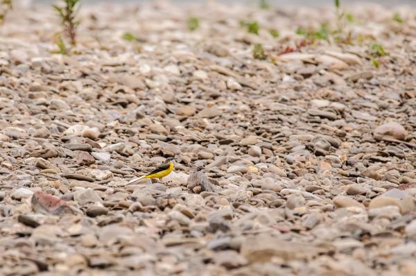 Grote gele kwikstaart,  Motacilla cinerea