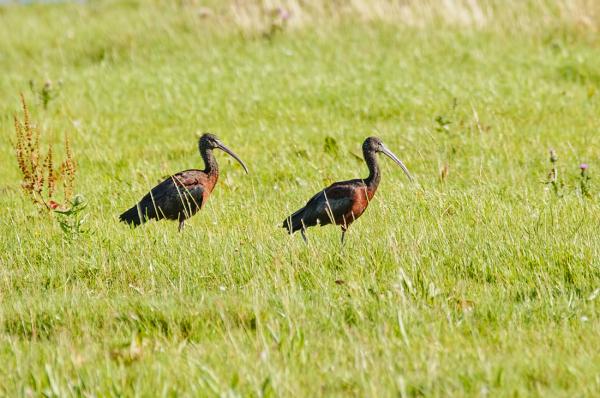 Zwarte ibis,  Plegadis falcinellus
