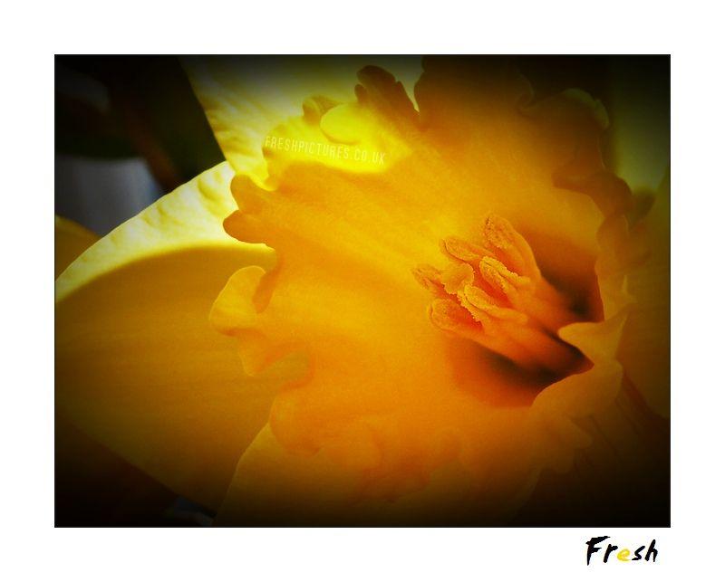 Yellow Trumpet