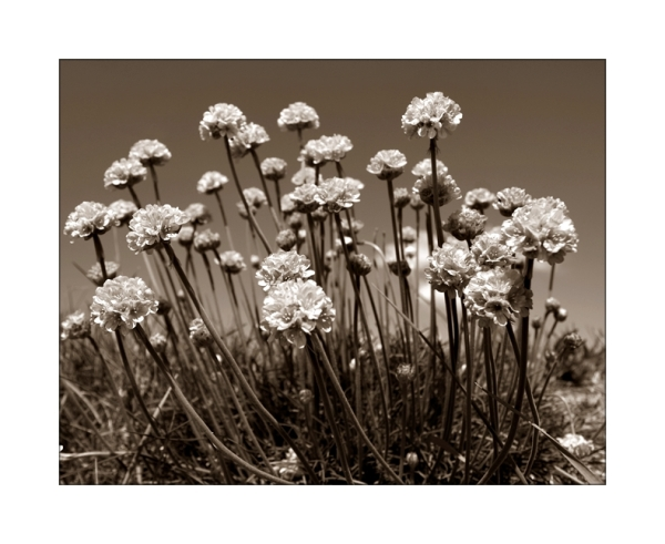 Flowers in Sepia
