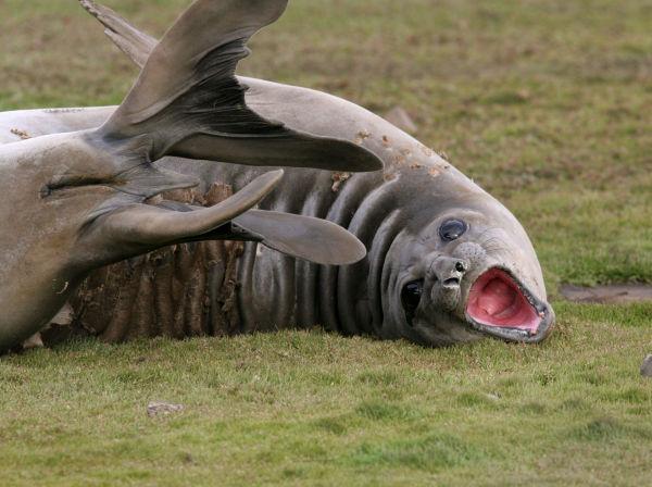 Elephant seal (Kerguelen archipelago)