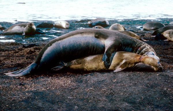 Un couple d'elephant de mer