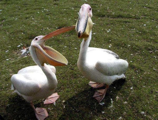 Deux pélicans du parc Pairi Daiza