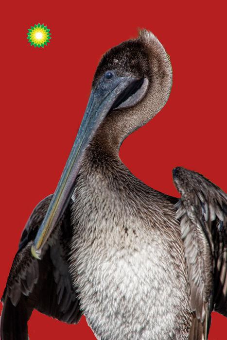 """Pelican in the """"sunlight"""" of BP"""