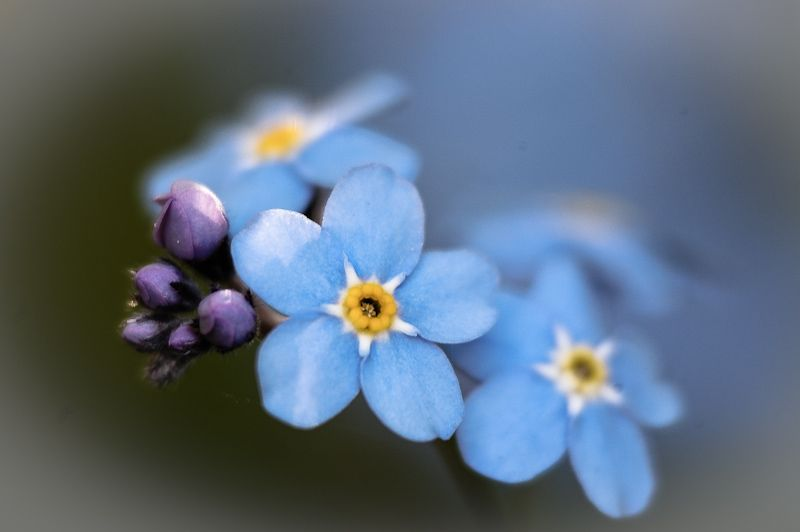 Tiny blue 'Forget me Not'
