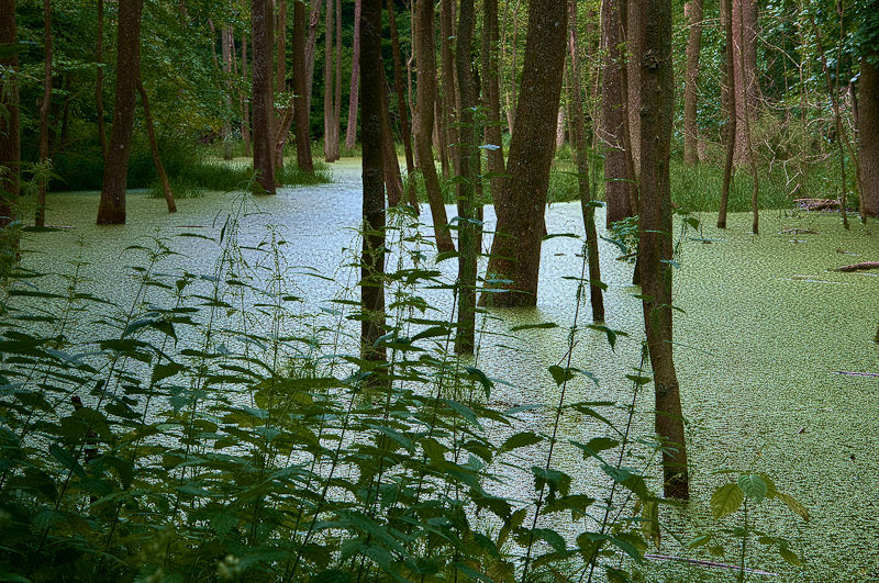 Swamp without ducks