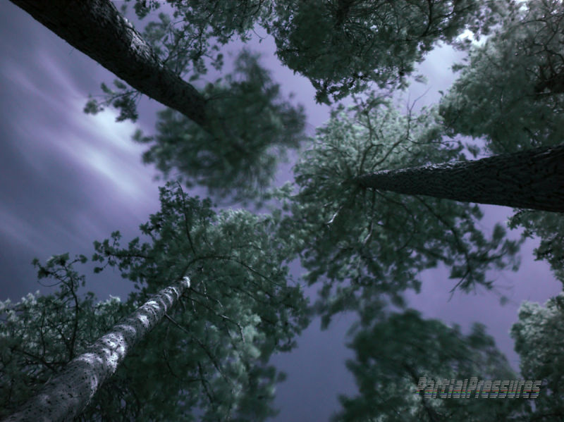 Looking upwards at sequoias