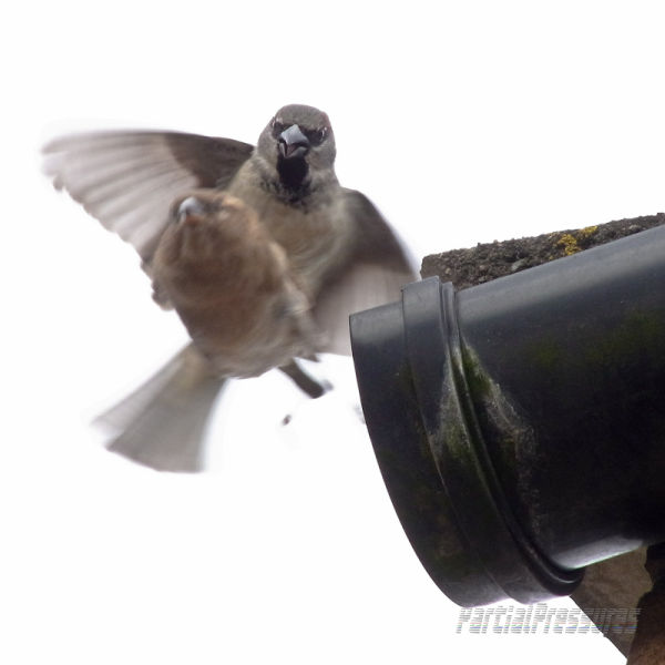 Sparrows on the wings of love, so to speak.
