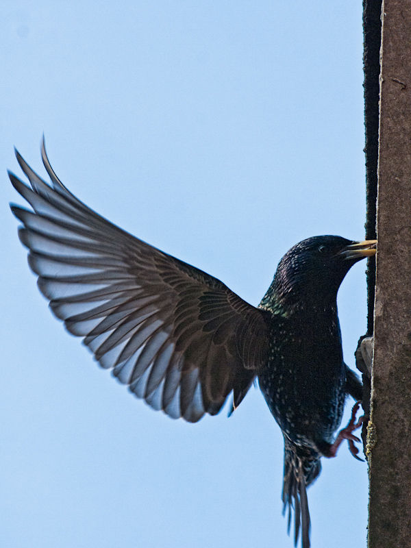 A starling pauses at the entrance to its nest