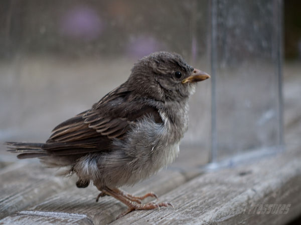 Baby sparrow contemplates his new environment