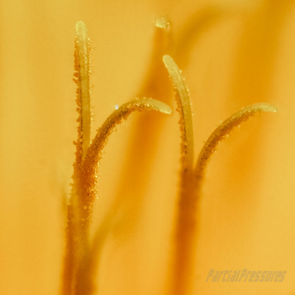 Closeup of dandelion stamens