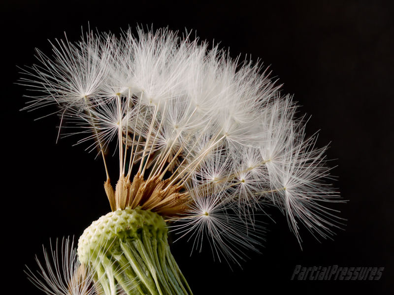 A tuft of seeds clinging to a dandelion head