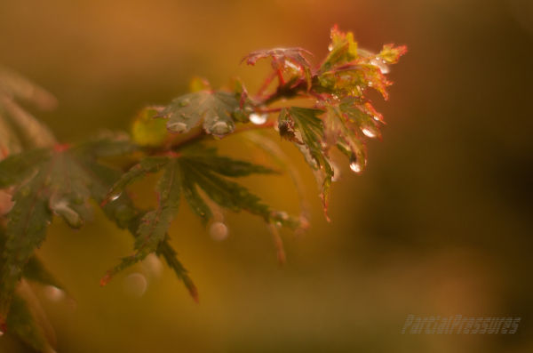 Raindrops on Japanese maple leaves at sunset